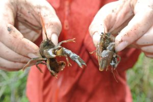 Two live crayfish held up by a volunteer.
